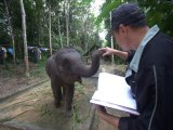 When a Phuket Elephant is Wounded in Action