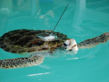 A turtle turned tourist: one of the two young voyagers
