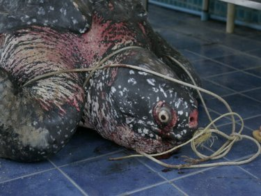 Killer Plastic Bags Choke Rare Phuket Leatherback: Shock Photo Album