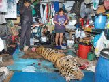 Tiger Abusers Caught Red-Handed in Bangkok Guesthouse