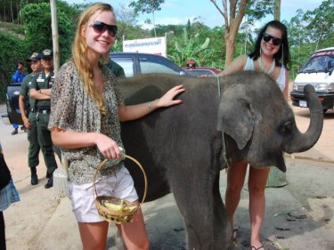 Popeye on Phuket today. Young elephants fetch 900,000 baht or more