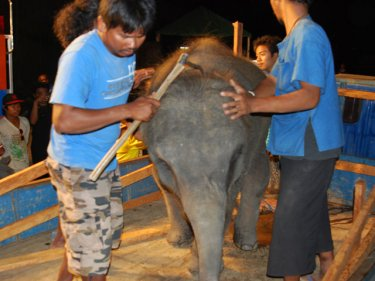 Popeye the elephant boards a trailer to head off Phuket last night