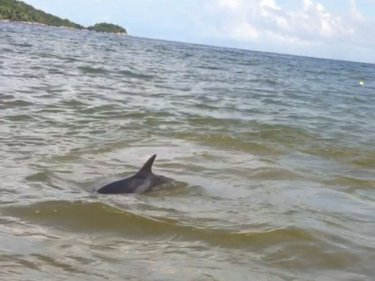 One of the lost  dolphins surfaces off Patong beach today
