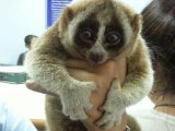 Phuket Raiders Arrest Five Bangla Touts, Free Slow Lorises