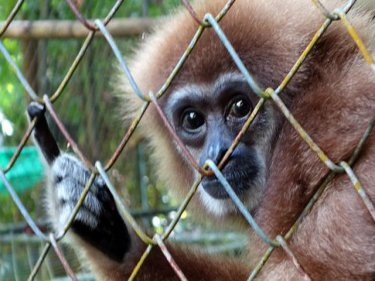 A gibbon at the Phuket rehab centre, where some now return to the wild