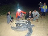 Leatherback Delight as Huge Turtle Lays Eggs North of  Phuket