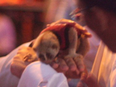 Cute and abused: a slow loris in the hands of a Patong tourist