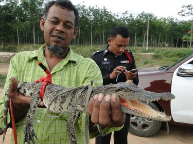One that didn't get away: Phuket's croc hunter with his catch today