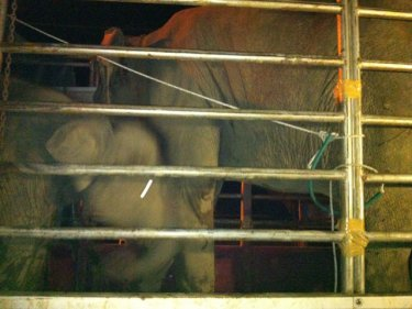 Elephants among those that smugglers tried to bring to Phuket today