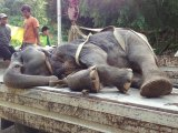 Phuket Pioneering Trek Elephant Dies After Long Illness