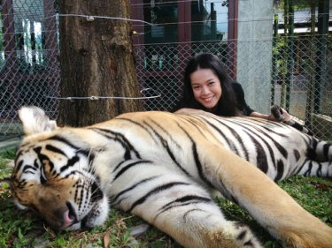 Premkamon Ketsara braves the big cats at Phuket's Tiger Kingdom today