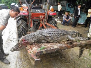 A large crocodile fell victim to the floods after escaping in Phang Nga