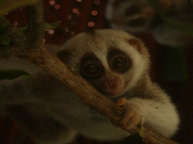 Slow lorises at the Phuket gibbon sanctuary: A rescue plan is underway