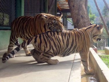 Tigers at play on the day Tiger Kingdom opened in July last year